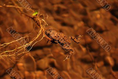 Brown Frog Swimming