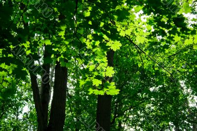 green maple forest