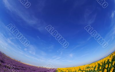 Lavender and sunflower fileds under blue sky