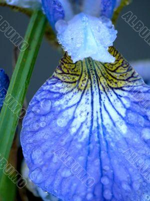 Dark blue iris. Summer.