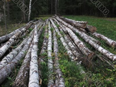 Pile of birch logs in the forest