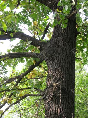 Stem of oak tree