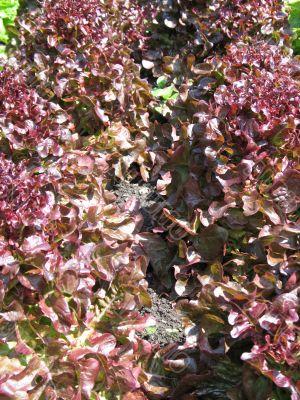 organic lettuces in a garden