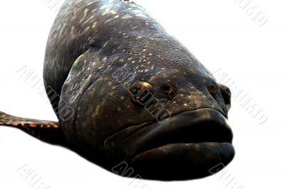 Big Lips Fish
