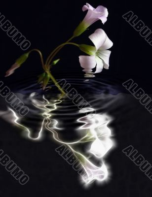 oxalis flowers abstract reflection