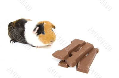 guinea pig with a chocolate letter for dutch holiday called sint