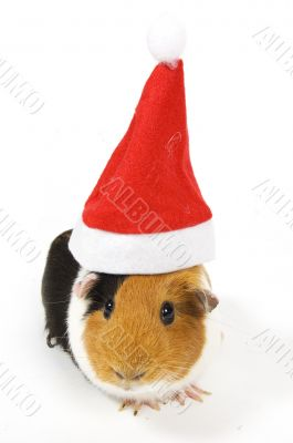guinea pig wearing a christmas hat
