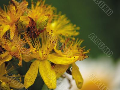 Flowers of a hypericum on a years meadow.