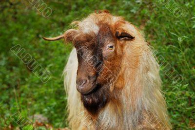 Ugly goat portrait