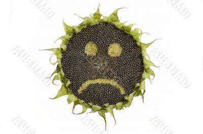 Sad sunflower isolated