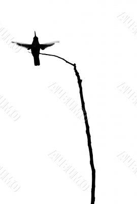 Hummingbird and Branch