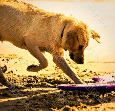 Golden Retriever Digging in Sand