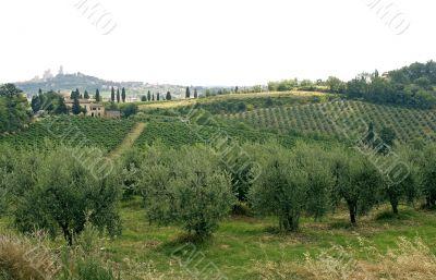 Vineyards and olive trees near San Gimignano (Siena, Tuscany)