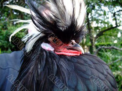 Dutch cap hen rooster