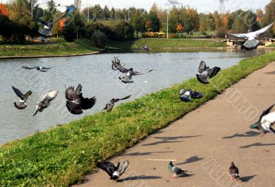 The pigeons starting