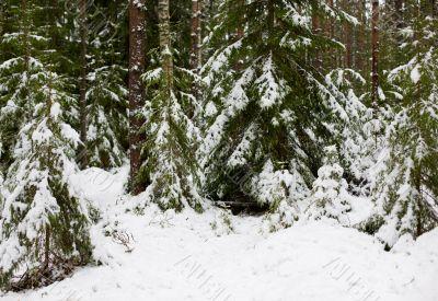 winter coniferous wood