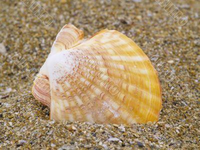 common scallop