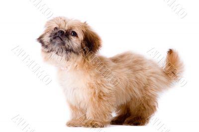 Asking pekingese dog