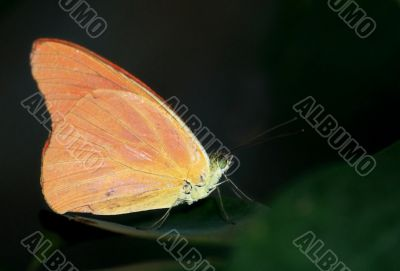 Orange Albatross Butterfly