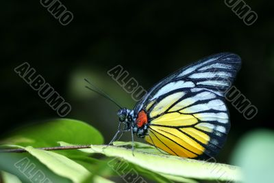 Red Spot Sawtooth Butterfly