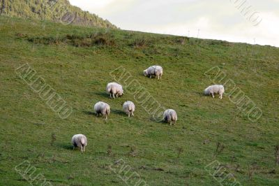 Sheeps Herd On The Green Lawn