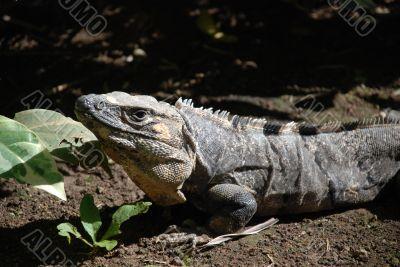 Descendant of dinosaurs. Peninsula Yucatan.