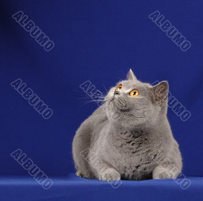 Silver cat looking