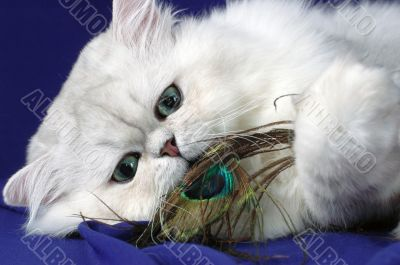 Persian cat with feather