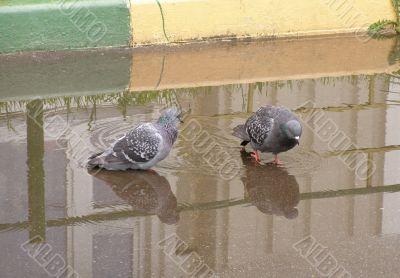 Bathing Of Pigeons