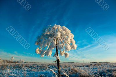 cowparsnip at winter morning