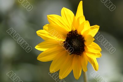 17_Lonely Sunflower