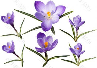 Colection of crocus flowers