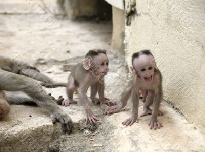 Monkey Macaca Babies in Indian Town