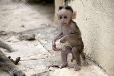 Monkey Macaca Baby in Indian Town