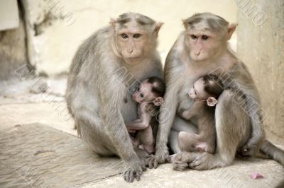 Monkey Macaca Family in South Indian Town
