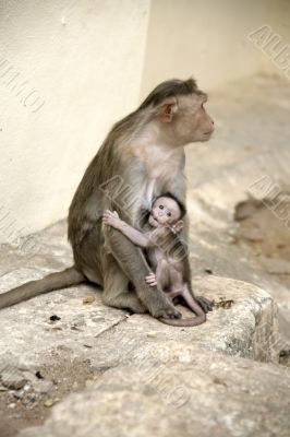 Monkey Macaca Family in Indian Town