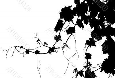 Grape Vine Isolated