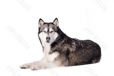 Crossbreed dog between husky and malamut looking at you