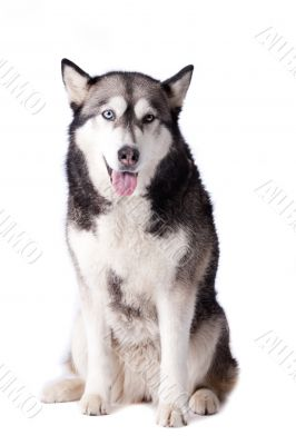 Crossbreed dog between husky and malamut looking happy