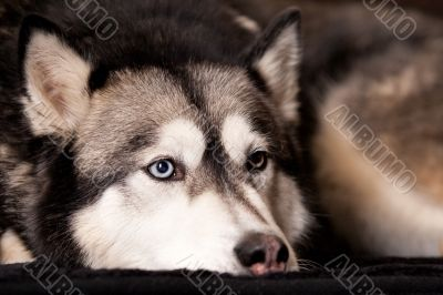 Crossbreed dog between husky and malamut laying down