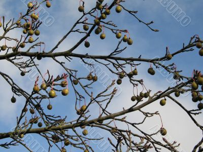 fruit in a tree and sky