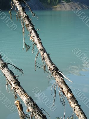 old trees in front of a green lake