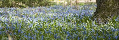 spring panoramic view, thousands of bluebells