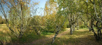 autumnal sunny day, view of a Karelian birch