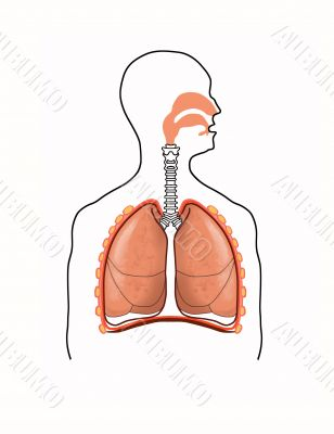 scheme of the respiratory tract