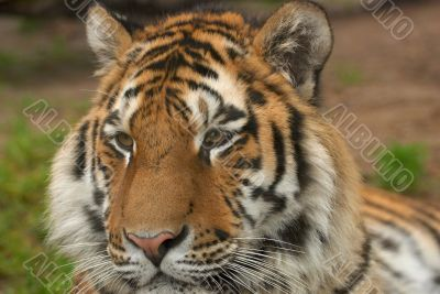 Tiger - Panthera Tigris Altaica