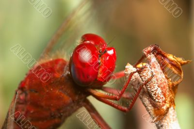 Dragonfly - sympetrum sp