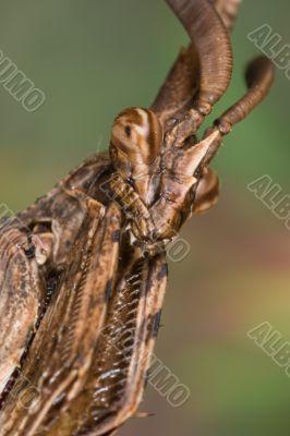 Mantis - Empusa pennata