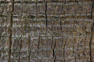 Palm tree bark background