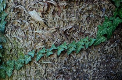 Palm Tree Bark With Ivy`s Leaves